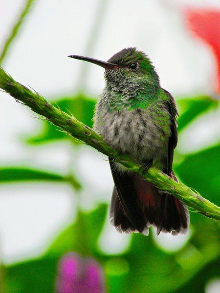 Beautiful humming bird in Costa Rica.