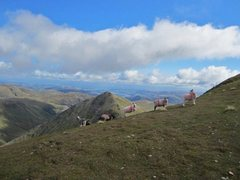 Rock Climbing Photo: Lakeland sheep with the small summit of Catsty Cam...
