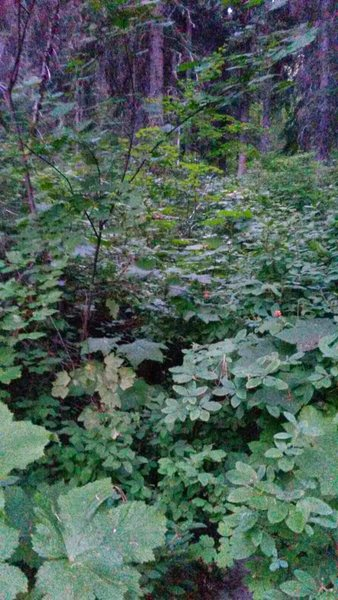 This is the trail. It's slightly overgrown in some spots. Also there are tons of huckleberries to pick as you hike!