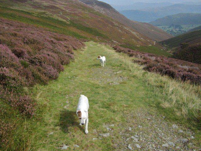 Descent through the Heather towards Newlands Valley