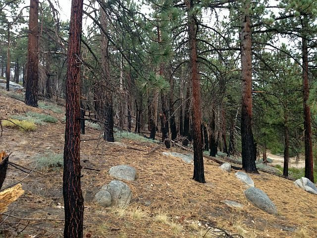 Singed trees from the Butler #2 Fire, San Bernardino Mountains