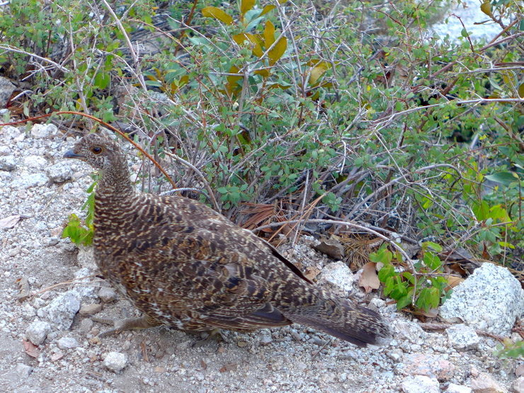 Rock Climbing Photo: trail chicken (a.k.a. grouse)