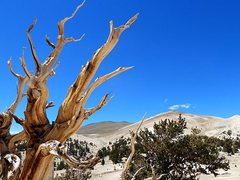 Rock Climbing Photo: Bristlecone pine in the White Mountains, Sierra Ea...
