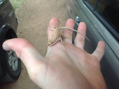 Rock Climbing Photo: Cool little lizard in Moab.