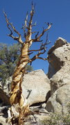 Rock Climbing Photo: Dramatic twisted dead tree on the main drainage.