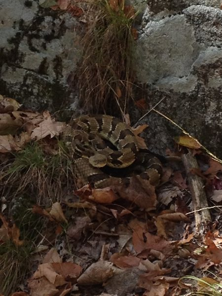 Almost stepped on this guy just off the trail at the bottom of Basilik Wall.