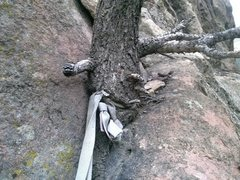 Rock Climbing Photo: tree strangled by webbing