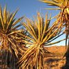 Yuccas in the Cottonwood Area, Joshua Tree NP