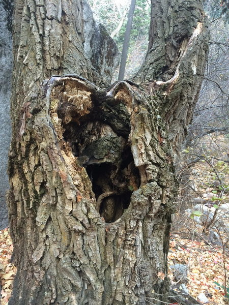Cottonwood tree with a heart-shaped burl. Aww.