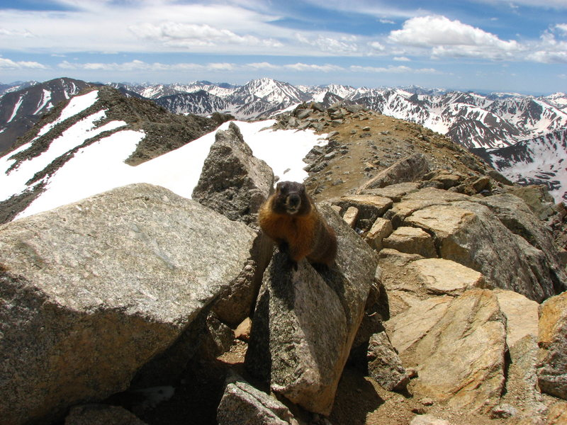 Rock Climbing Photo: Hungry Marmot on Mt. Massive