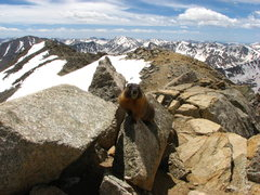 Rock Climbing Photo: Hungry Marmot on Mt. Massive