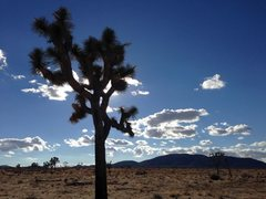 Rock Climbing Photo: Joshua Tree and clouds along the Geology Tour Road...