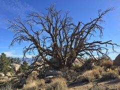 Rock Climbing Photo: The dead tree on the approach to The Otherworld