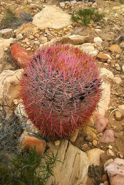 Rock Climbing Photo: Red Rock  Barrel Cactus