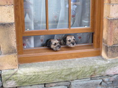 Rock Climbing Photo: Border Terriers .. Keswick