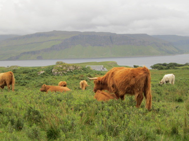 Highland Cattle ..Isle of Mull