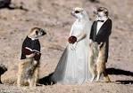 Meerkat marriage