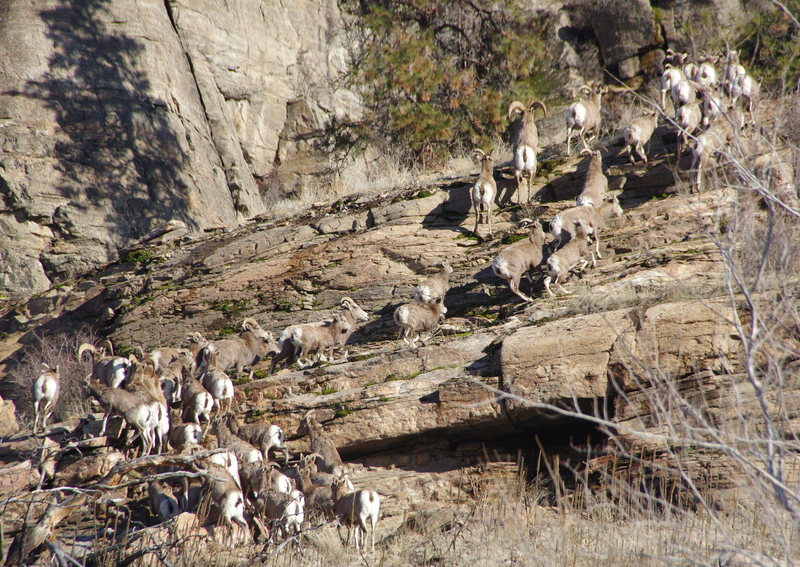 Rock Climbing Photo: A large group of California Big Horn Sheep - on th...