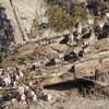 "A large group of California Big Horn Sheep - on the west slope below ""The Nose"""