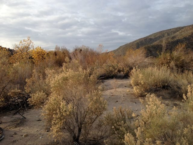 Abundant vegetation is found in Upper Coyote Canyon, Anza Borrego State Park