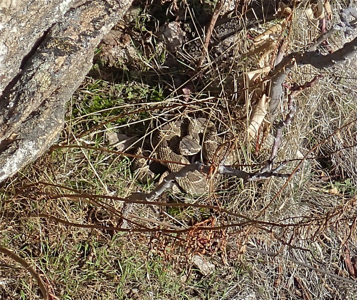 Very lively rattler on 2/16/15