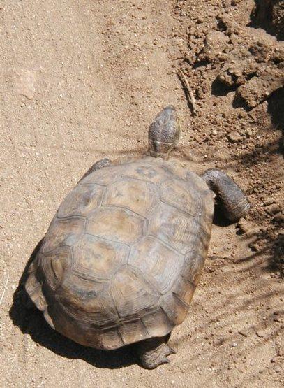Desert Tortoise (Gopherus agassizii), Joshua Tree NP