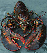 Rock Climbing Photo: lobster