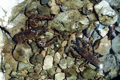 Rock Climbing Photo: Freshwater Crayfish