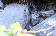 Rock Climbing Photo: Ringtail in the rocks below the Power Wall
