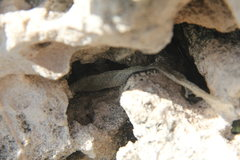 Rock Climbing Photo: Watch out for coral snakes, this skin was found at...