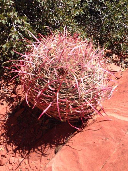Rock Climbing Photo: Crazy Cactus?
