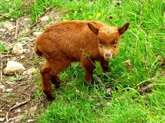 Rock Climbing Photo: Cute baby goat - an ancient breed
