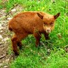 Cute baby goat - an ancient breed