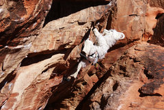 Rock Climbing Photo: Here the wild you can see this billy goat thrive i...