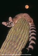 Wascaly Ringtail