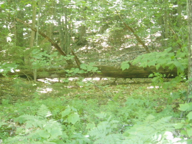 Large Dead Tree marks the start of the path