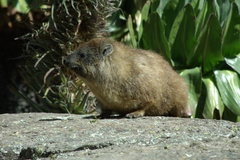 Rock Climbing Photo: A Hyrax- Africa's marmot equivalent and a frequent...