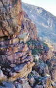 Rock Climbing Photo: A family of mountain goats decided to stop by for ...