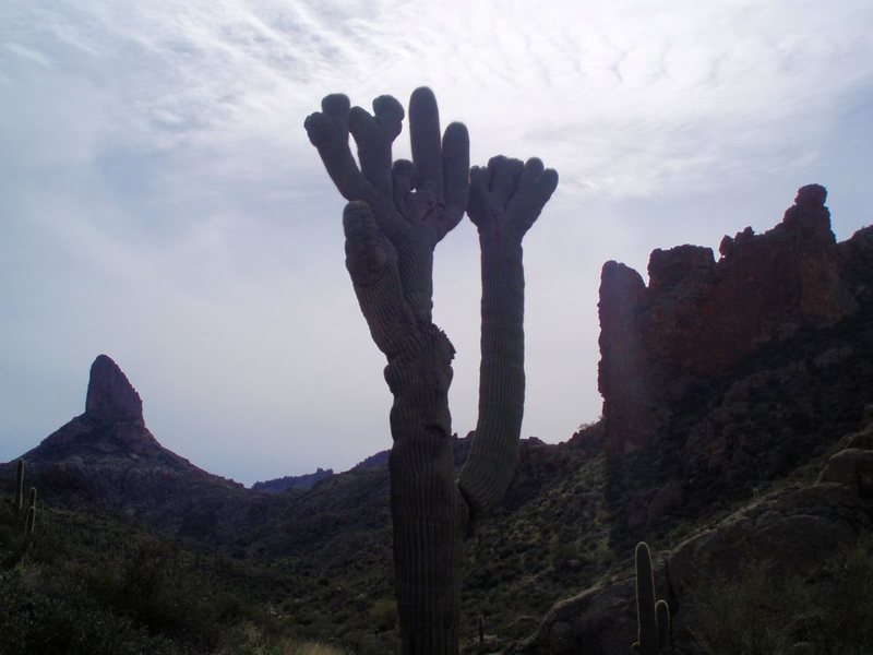 Crested saguaro in East Boulder Canyon.