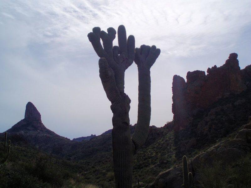Crested saguaro in East Boulder Canyon.