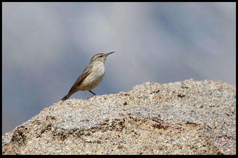 rock wren at the milks