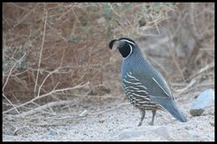 Rock Climbing Photo: California Quail near the Happy Boulders