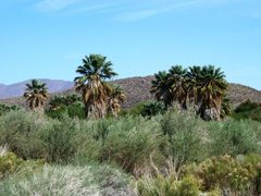Rock Climbing Photo: Palm oasis at Lower Willows, Anza Borrego SP