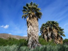 Rock Climbing Photo: The palm oasis at Lower Willows, Anza Borrego SP