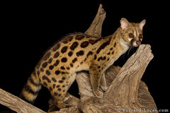 Rock Climbing Photo: Large Spotted Genet. Late in the day this illusive...