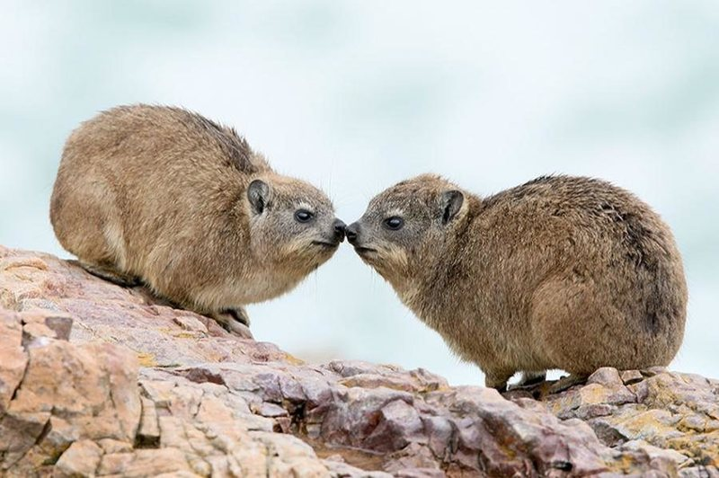 Rock Climbing Photo: Hyrax