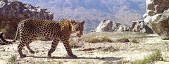 Rock Climbing Photo: One of the last remaining Cape leopards?