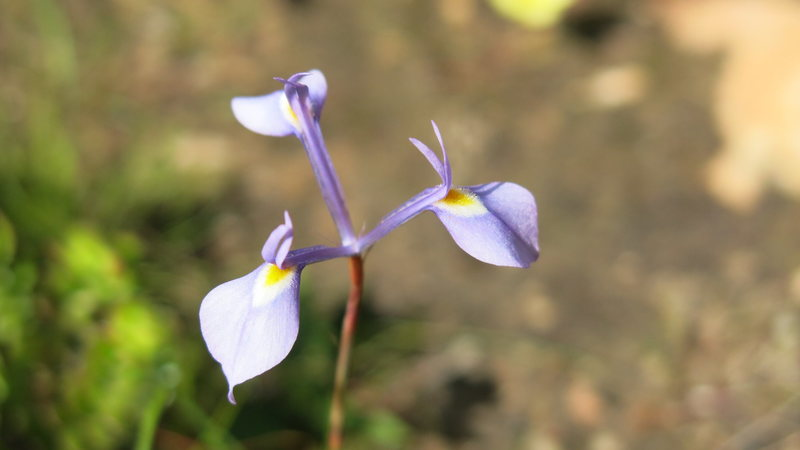 One of many flowering species in Rocklands