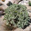 A healthy Cholla in the Comic Book Area, Joshua Tree NP