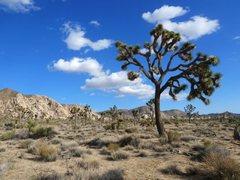 Rock Climbing Photo: A nice Joshua Tree near The Dakota Domes, Joshua T...